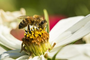 Bee on Cosmos FlowerBiene auf Kosmeenbluete
