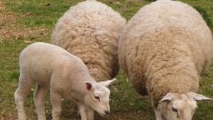 dfz-otpusna-4-650-000-lv-za-izhranvane-na-ovce-maijki-255689