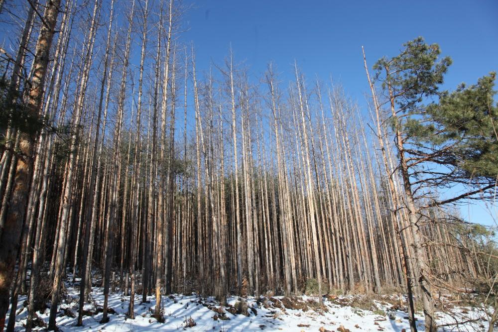 Част от поразената от този вредител гора